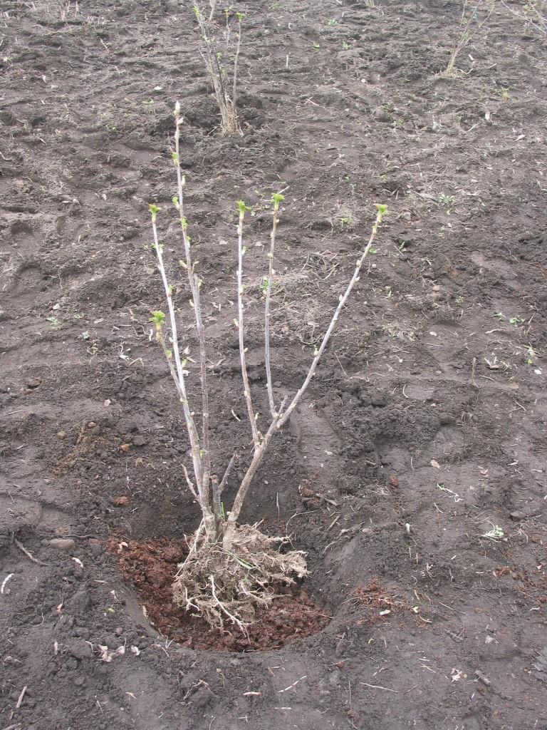カシスの苗木