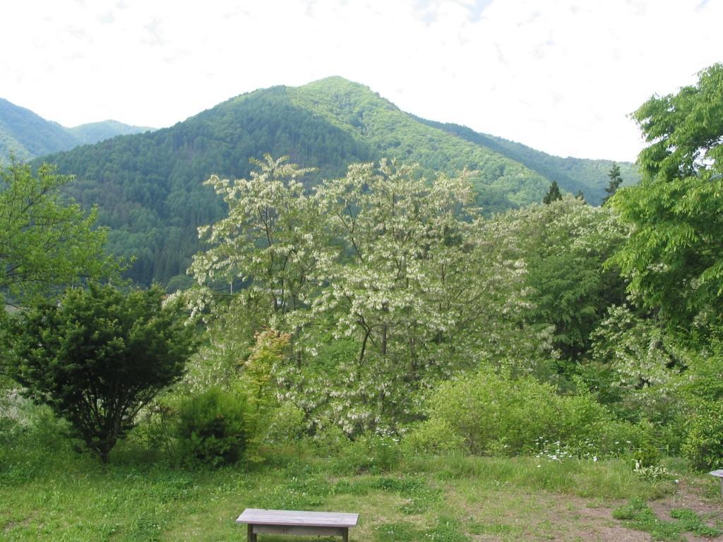 アカシアの木、ヴィラ中村